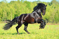 Black friesian horse runs gallop in freedom summer time Royalty Free Stock Photos