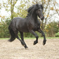 Black friesian stallion running on sand in autumn nice Royalty Free Stock Image
