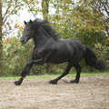 Black friesian stallion running on sand in autumn nice Royalty Free Stock Photo