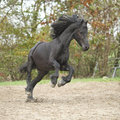 Black friesian stallion running on sand in autumn nice Stock Photography