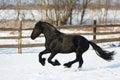 Black frisian horse in winter Royalty Free Stock Photo