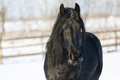 Black frisian horse in winter Royalty Free Stock Photo