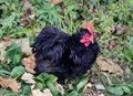 A black frizzle chicken with curly feathers on the grass Royalty Free Stock Photo