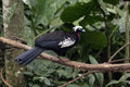 Black fronted piping guan penelope jacutinga single bird on branch brazil Royalty Free Stock Images