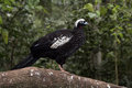 Black fronted piping guan penelope jacutinga single bird on branch brazil Stock Photos