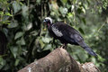 Black fronted piping guan penelope jacutinga single bird on branch brazil Stock Image