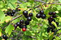 Black fruits of jostaberry Royalty Free Stock Photo