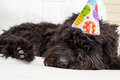 Black furry dog lying on white chair wearing a birthday party hat Royalty Free Stock Photo