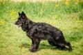 Black German Shepherd Dog Sit ...