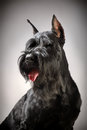 Black Giant Schnauzer dog Royalty Free Stock Photo