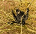 Black gibbon monkey on a tree