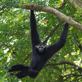 Black Gibbon(White-Cheeked Gibbon)