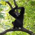 Black Gibbon(White-Cheeked Gibbon) Royalty Free Stock Photo