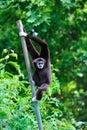 Black Gibbon in zoo Royalty Free Stock Photo