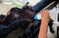 Black goat feeding milk in farm Stock Images