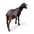 Black goat isolated on white with clipping path Royalty Free Stock Photos