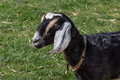 Black goat on lawn front end of with white and tan markings Stock Photo