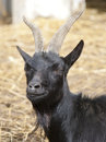 A black goat looking at the camera Royalty Free Stock Photos