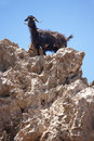 Black goat in a rock crete greece vertical Stock Image