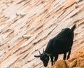 Black goat on rocky hillside