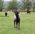 Black goat standing on a green field Royalty Free Stock Photo