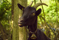 Black goat with tongue out funny animal image captured in the village quentin switzerland a domestic the and a bell at its Royalty Free Stock Images