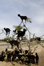 Black goats in an Argan tree Stock Images