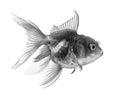 Black gold fish  on white background Royalty Free Stock Photo