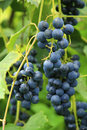 Black grape bunch ready for harvest a Stock Photography