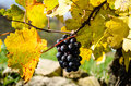 Black grapes in an autumn time Royalty Free Stock Photo
