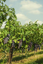 Black grapes in the farmland Royalty Free Stock Photos