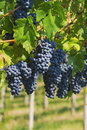 Black grapes in the farmland Royalty Free Stock Images