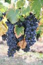Black grapes in september season of wine Stock Photos