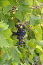Black grapes in the vine agriculture and botanics concept Royalty Free Stock Image