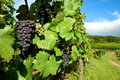Black grapes on vine in vineyard of alsace bunches grown for wine making the region france Stock Photos