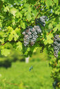 Black grapes vineyard of in summer Royalty Free Stock Image