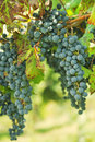 Black grapes vineyard of in summer Stock Photo