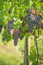 Black grapes vineyard of in summer Royalty Free Stock Photos