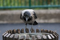 Black and gray Crow on the trash can in the city Royalty Free Stock Photo