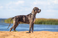 Black great dane Stock Photography