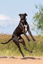 Black great dane Royalty Free Stock Images