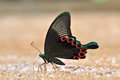 Black and Green Butterfly Royalty Free Stock Photo