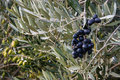 Black and green olives ripening on olive tree Royalty Free Stock Photo