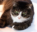 Black and grey tabby a relaxing with attitude Royalty Free Stock Photography