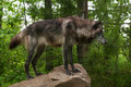 Black Grey Wolf Canis lupus on Rock
