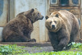 Black grizzly bears Royalty Free Stock Photo