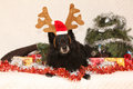 Black groenendeel with reindeer antlers chien de berger belge lying in a christmas Royalty Free Stock Photo