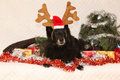Black groenendeel with reindeer antlers chien de berger belge lying in a christmas Royalty Free Stock Photography