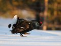 Black grouse Royalty Free Stock Images