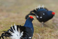 The Black Grouse or Blackgame (Tetrao tetrix). Royalty Free Stock Images